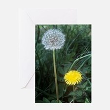 Dandelion (Taraxacum officinale) Greeting Card