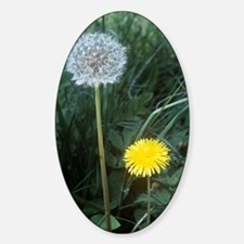Dandelion (Taraxacum officinale) Sticker (Oval)