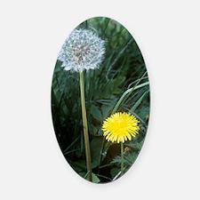 Dandelion (Taraxacum officinale) Oval Car Magnet