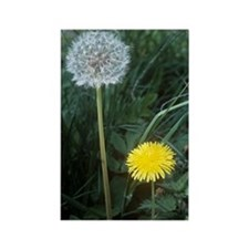 Dandelion (Taraxacum officinale) Rectangle Magnet