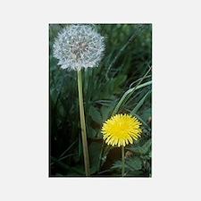 Dandelion (Taraxacum officinale) Rectangle Magnet
