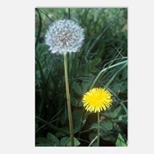 Dandelion (Taraxacum offi Postcards (Package of 8)
