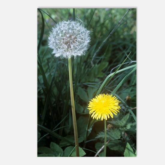 Dandelion (Taraxacum offi Postcards (Package of 8)
