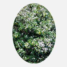 Daphne bholua 'Jacqueline Postill' Oval Ornament