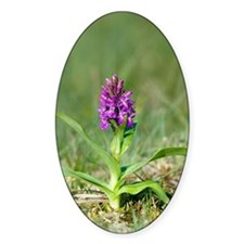 Dactylorhiza purpurella Decal