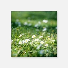 "Daisies (Bellis perennis) Square Sticker 3"" x 3"""