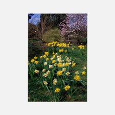 Daffodils (Narcissus sp.) Rectangle Magnet