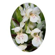Dactylorhiza sambucina Oval Ornament