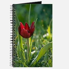 Cypriot tulip flower (Tulipa cypria) Journal