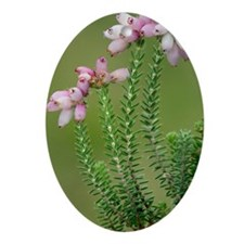 Cross-leaved heath (Erica tetralix) Oval Ornament
