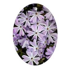 Creeping phlox (Phlox subulata) Oval Ornament