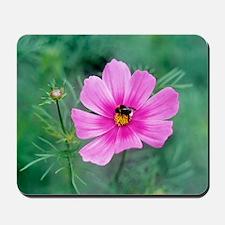 Cosmos bipinnatus with a bumble bee Mousepad