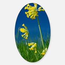 Cowslip (Primula veris) flowers Sticker (Oval)