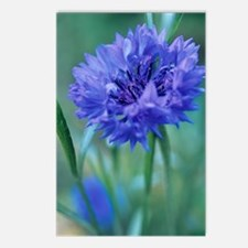 Cornflower (Centaurea 'Bl Postcards (Package of 8)