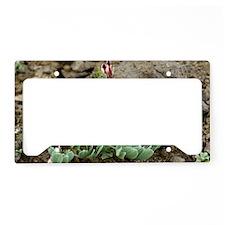 Corydalis oppositifolia License Plate Holder