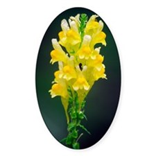 Common toadflax flowers (Linaria sp Decal