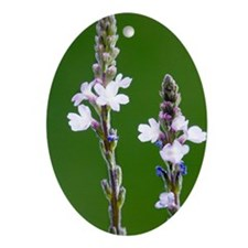 Common vervain (Verbena officinalis) Oval Ornament