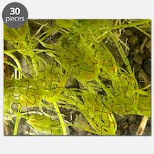 Common stonewort (Chara vulgaris) Puzzle
