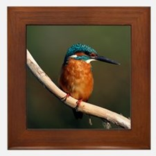 Common kingfisher on a branch Framed Tile
