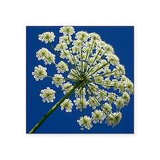"Common hogweed (Heracleum s Square Sticker 3"" x 3"""