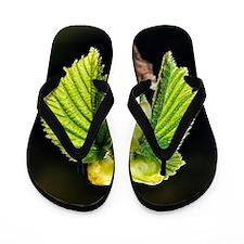 Common hazel bud Flip Flops