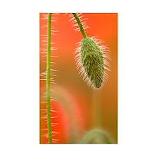 Common poppy (Papaver rhoeas) Decal