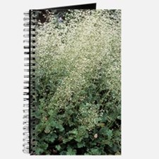 Coral bells (Heuchera 'White Spires') Journal