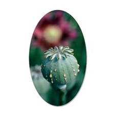 Collecting opium from poppy  Wall Decal