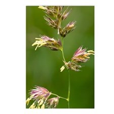 Cocksfoot Grass (Dactylis Postcards (Package of 8)