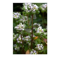 Cochlearia officinalis Postcards (Package of 8)