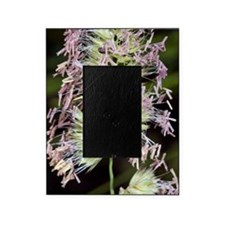 Cocksfoot (Dactylis glomerata) Picture Frame