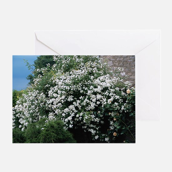 Climbing rose (Rosa 'Rambling Rector Greeting Card