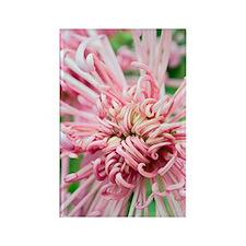 Chrysanthemum 'Valerie' Rectangle Magnet