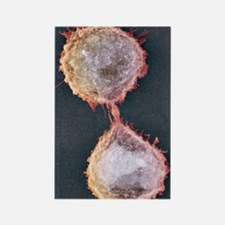 Cell division, SEM Rectangle Magnet