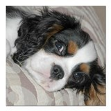 Tri color cavalier king charles spaniel Square Car Magnets