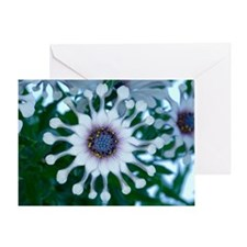 Cape daisy (Osteospermum sp.) Greeting Card