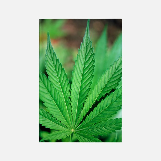 Cannabis leaves Rectangle Magnet