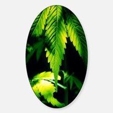 Cannabis leaves Sticker (Oval)