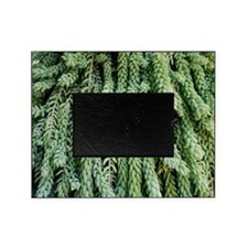 Burro's tail foliage Picture Frame