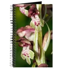 Bug Orchid (Orchis coriophora) Journal