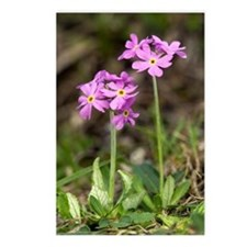 Bird's eye Primrose (Prim Postcards (Package of 8)