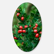 Butcher's broom (Ruscus aculeatus) Decal