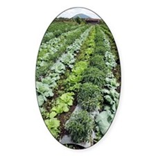 Cabbage and chilies cultivated in f Decal