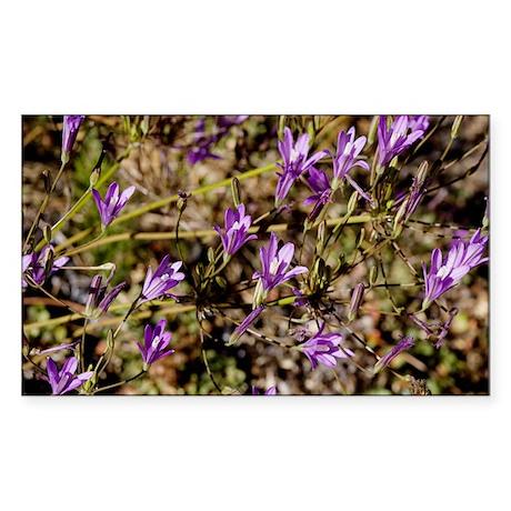 Brodiaea californica Sticker (Rectangle)