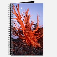 Bristlecone pine Journal