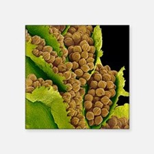 "Bracken spores, SEM Square Sticker 3"" x 3"""