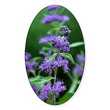 Bluebeard (Caryopteris x clandonens Decal