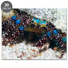 Blue-knee hermit crab Puzzle