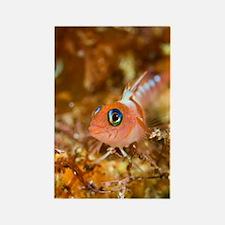 Blue-eyed triplefin Rectangle Magnet