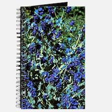 Blue shrimp plant 'Purpurascens' Journal